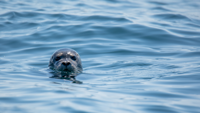 Scotland Salmon Farmers Banned From Shooting Seals