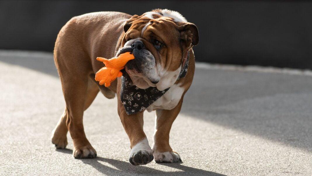 lewis hamilton vegan bulldog