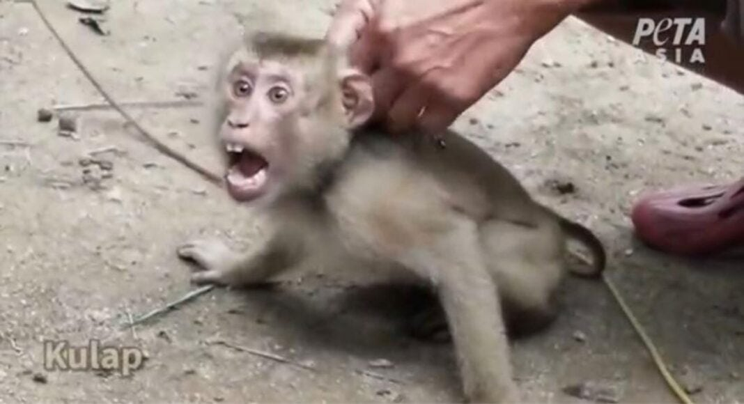 coconuts monkey abuse