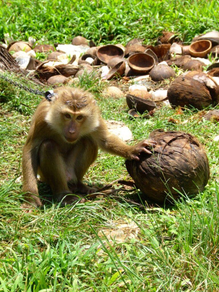 monkey slavery