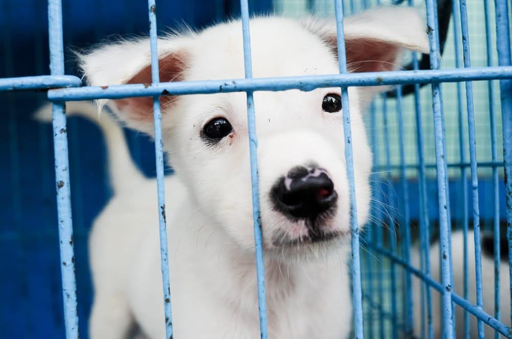 cambodia dog meat