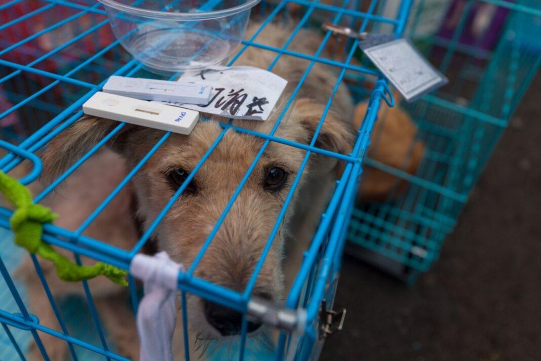 yulin dog festival