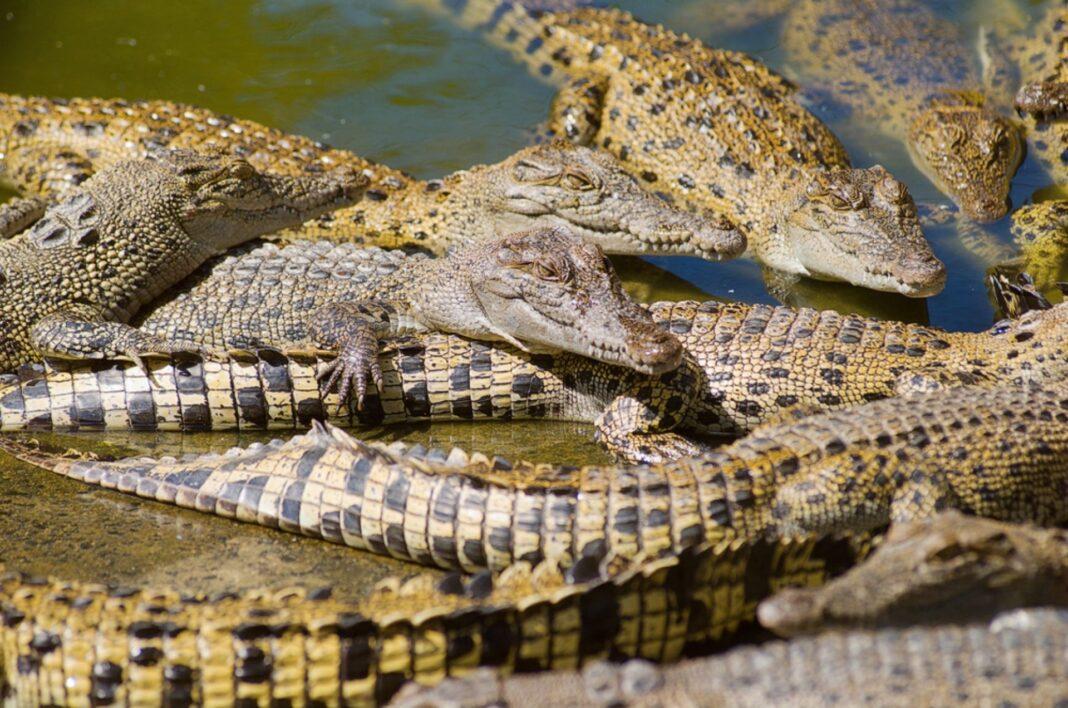 hermes crocodiles