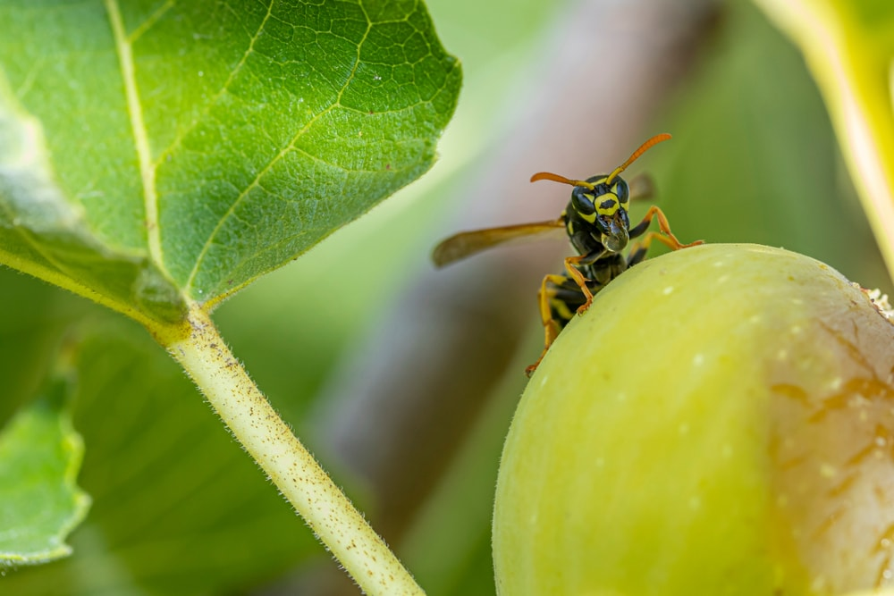 fig wasps
