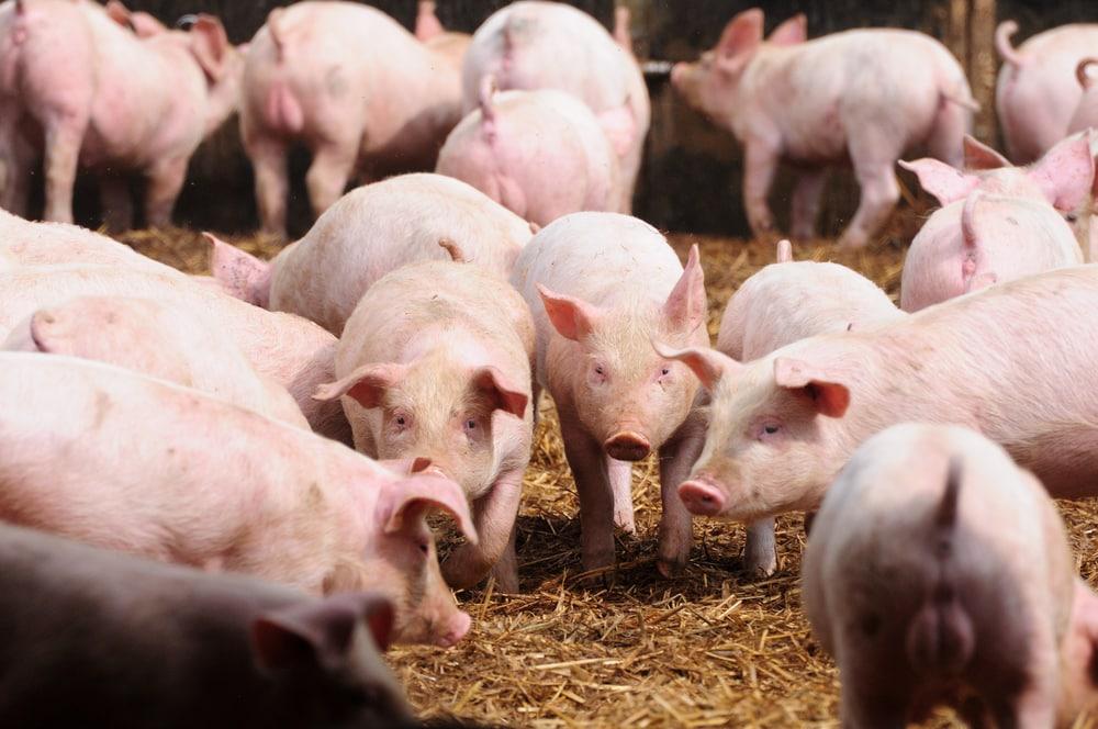 pig welfare uk