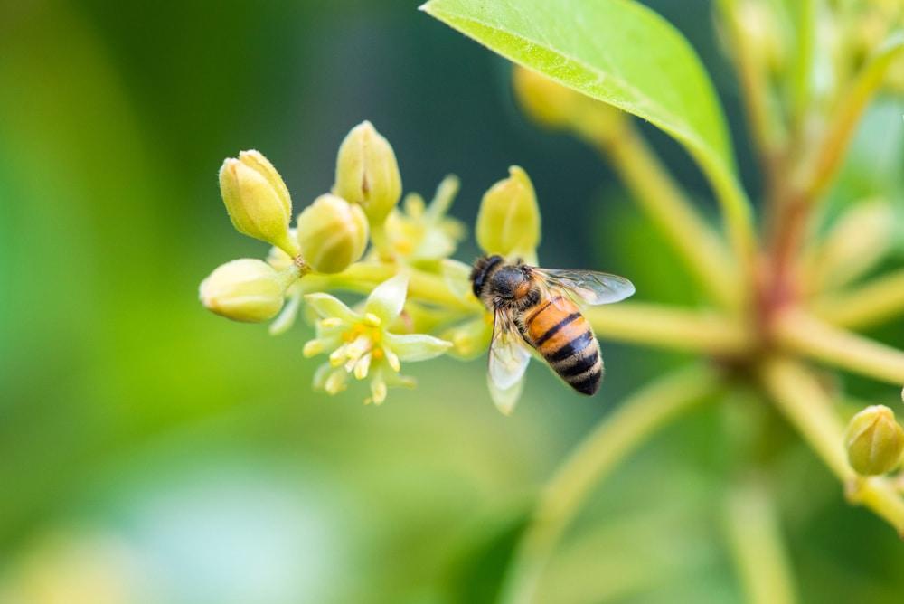 avocado bees