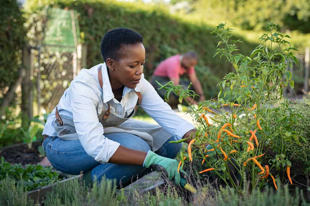 monsanto black farmers