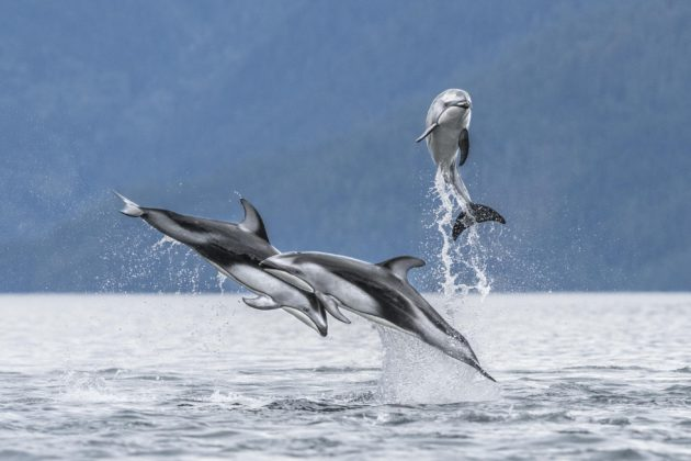 dolphins jumping out of water
