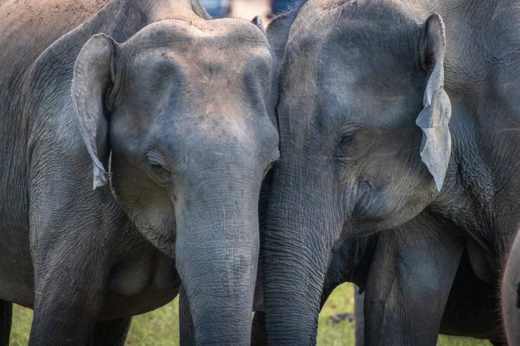 save the asian elephants