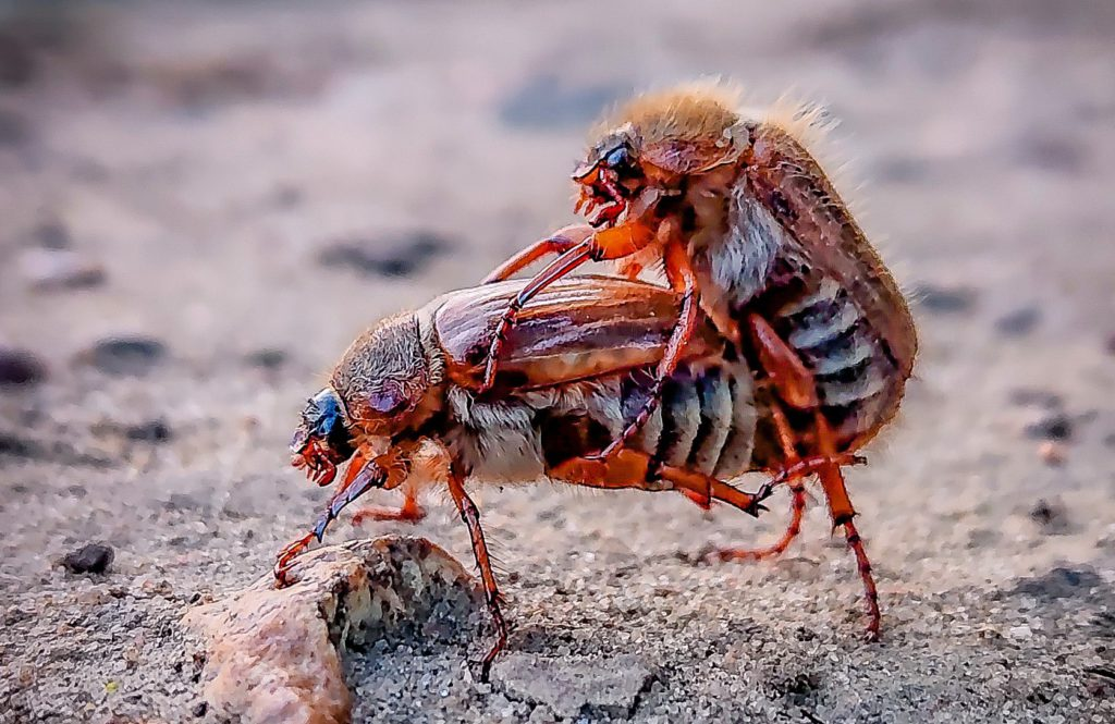 chafers mating